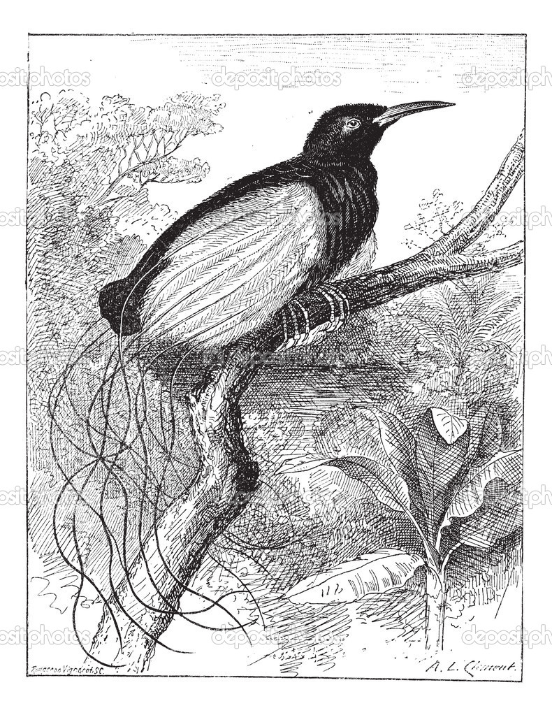 Twelve-wired Bird-of-paradise or Seleucidis melanoleucus, vintag ...