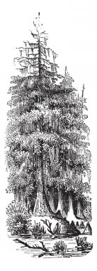 Taxodier couplet (Taxodium distichum) or Bald-cypress or Baldcypress or Swamp Cypress, vintage engraved illustration. Bald Cypress tree. Trousset encyclopedia ( stock vector