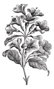 Diervilla rosea vintage engraving
