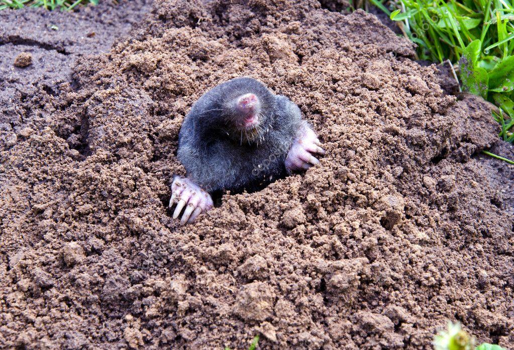 Testa e gambe talpa collina talpa parassitarie degli for La talpa animale