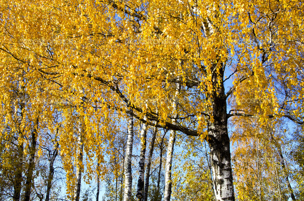 Background of birch tree branches golden leaves