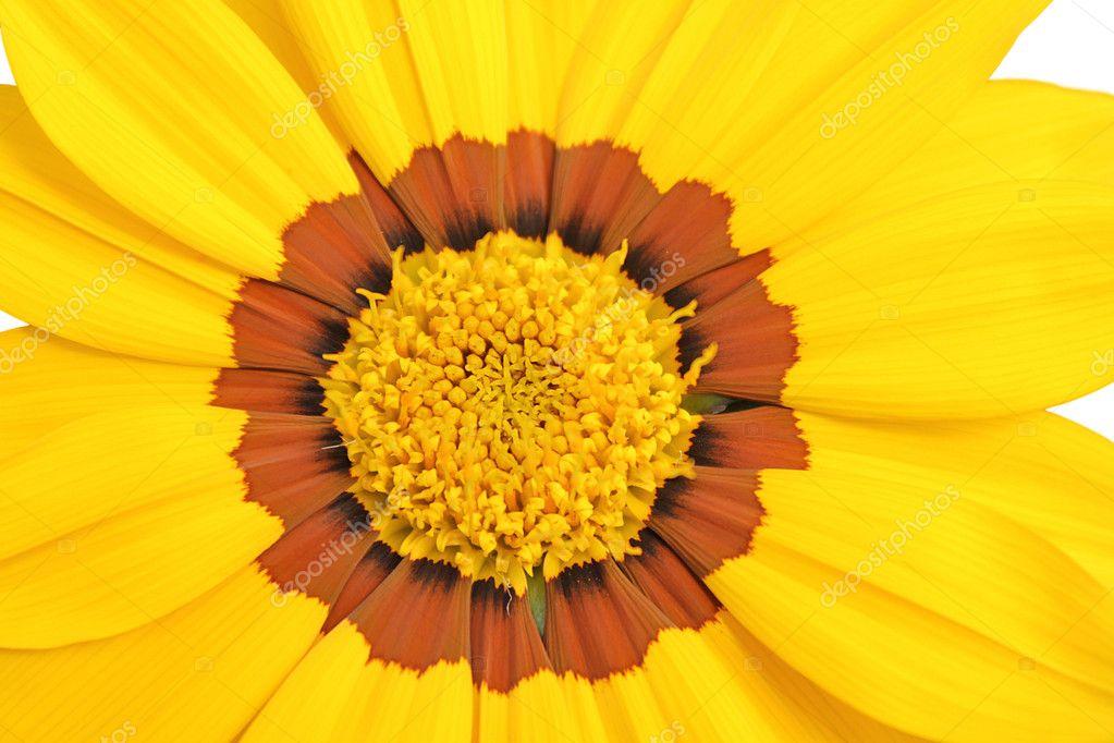 黄色と茶色のデイジーの花 ストック写真 benedektibor 10379652