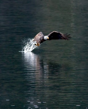 Eagle snatches fish.
