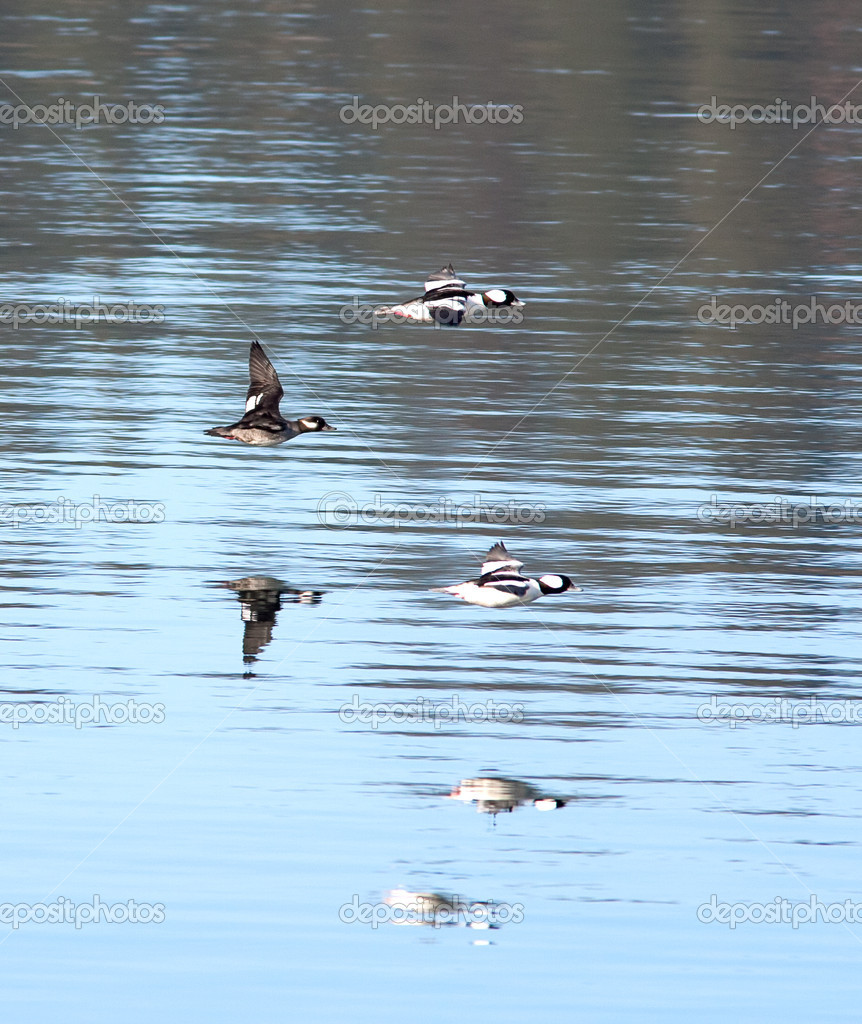 Three bufflehead waterfowl.