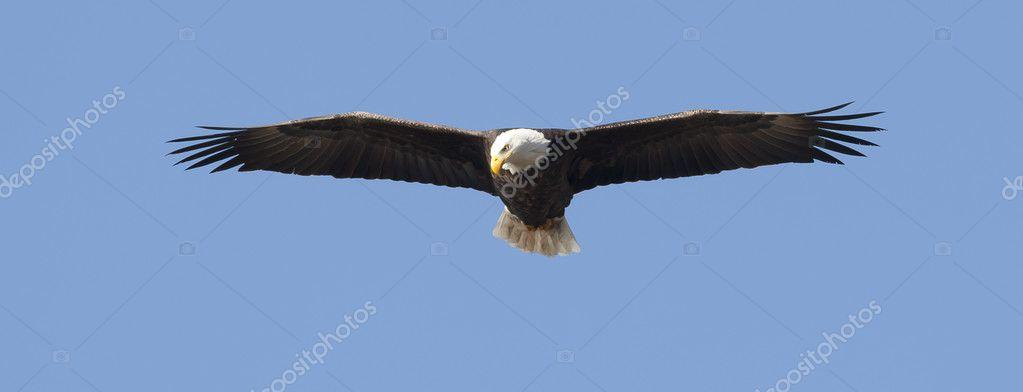 Panorama of eagle soaring high.
