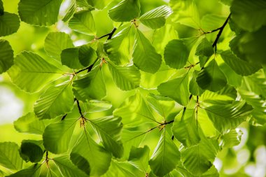 Green leaves, background