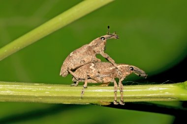 Two mating weevil on green leaf in the wild