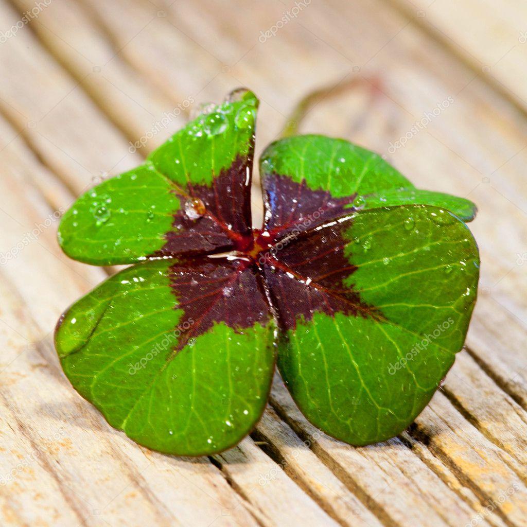 Four leaf clover on wood background