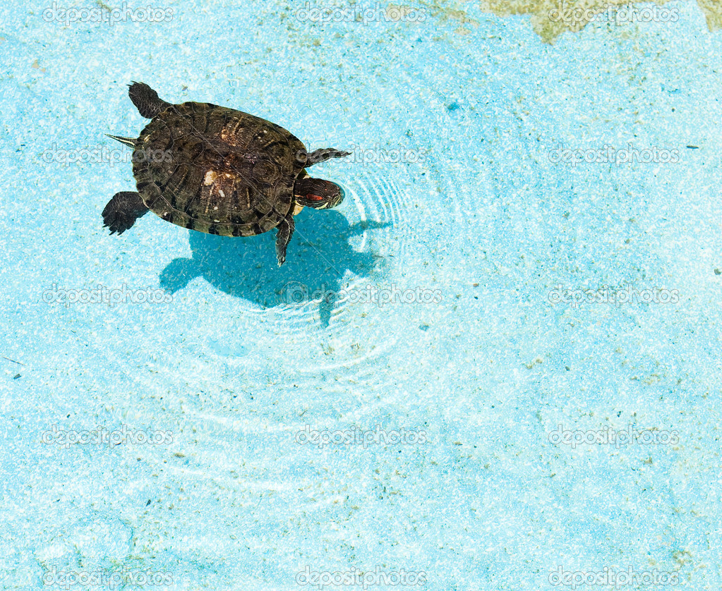 Turtle on water