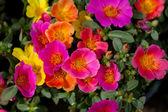 Portulaca květiny