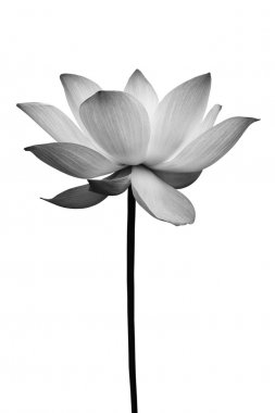 Lotus in black and white isolated on white stock vector