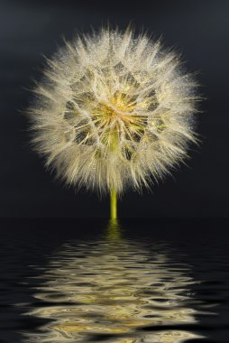 Beautiful dandelion with water drops with the reflection in the water on a