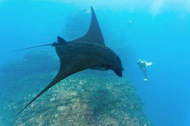 Manta and diver on the coral reef