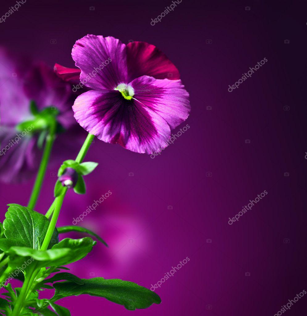 Pansy flowers border