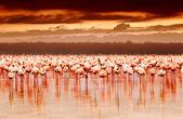Africké plameňáci na sunset