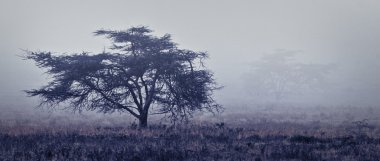 Single tree at foggy misty forest of Africa