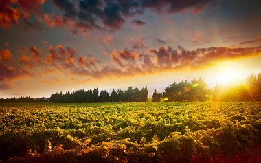 Stunning sunset landscape of grape field