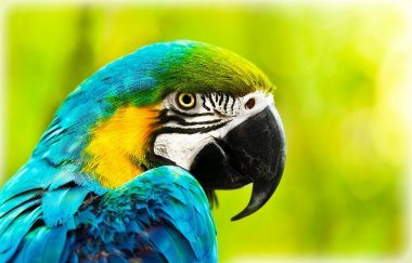 Exotic colorful African macaw parrot, beautiful close up on bird face over natural green background, bird watching safari, South Africa wildlife stock vector
