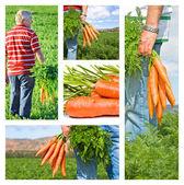 A sárgarépa mezőgazdasági termelő gazdaságában kollázs