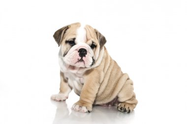 English bulldog puppy isolated