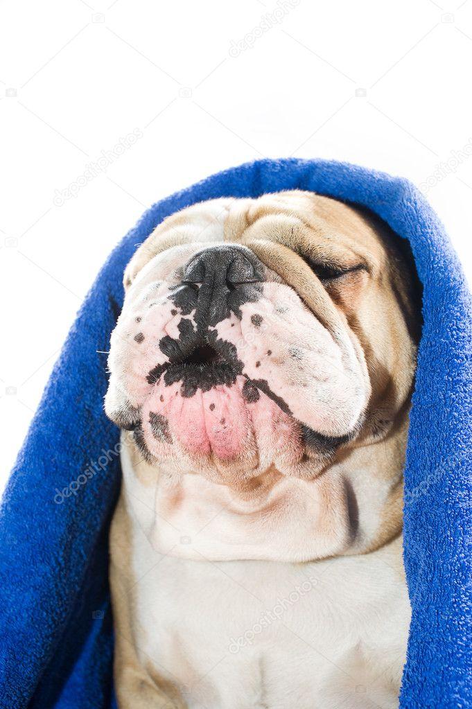 4f712fbc2ac buldok v ručníku — Stock Fotografie © tanyxa333  9656451