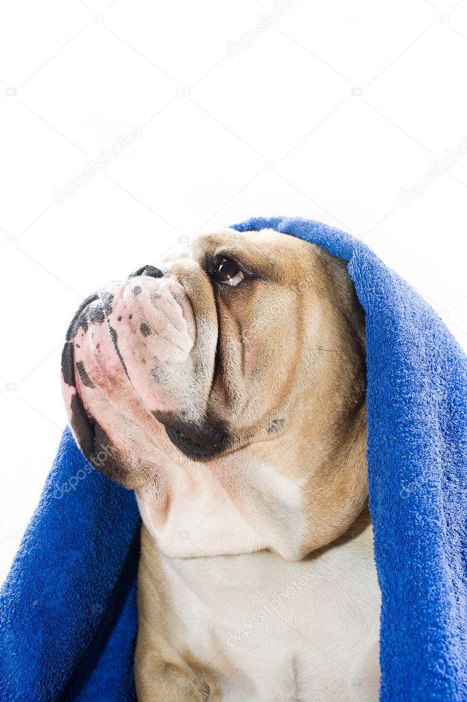 05c86a07e98 buldok v ručníku — Stock Fotografie © tanyxa333  9656594