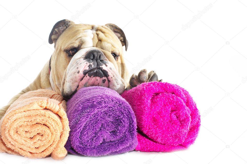 fbae76031cc anglický buldok portrét s ručníky