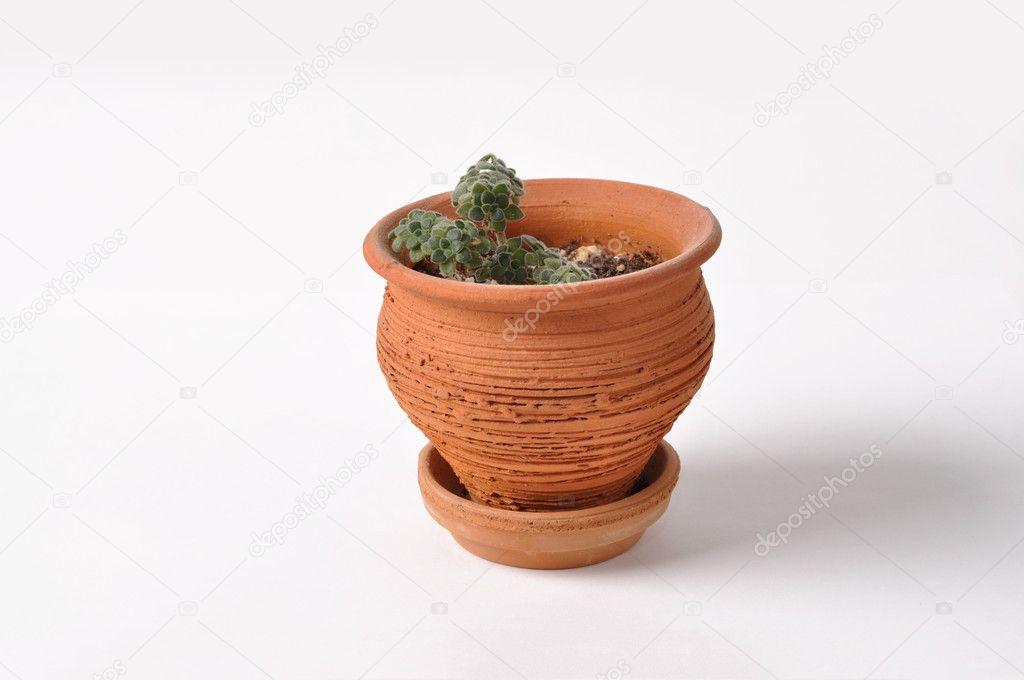 Aeonium in flowerpot
