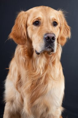 Golden retriever dog on black