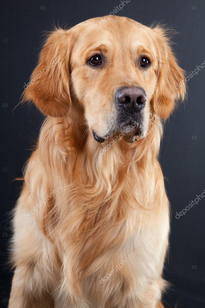 Golden retriever dog on black