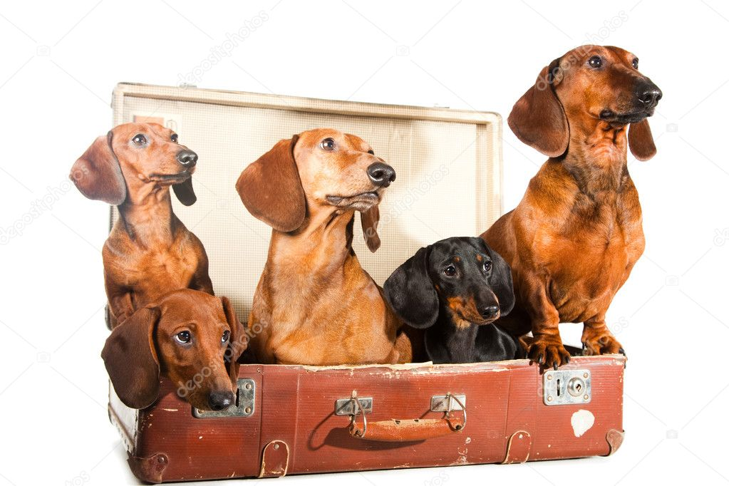 Five Dachshund Dogs in vintage suitcase on isolated white