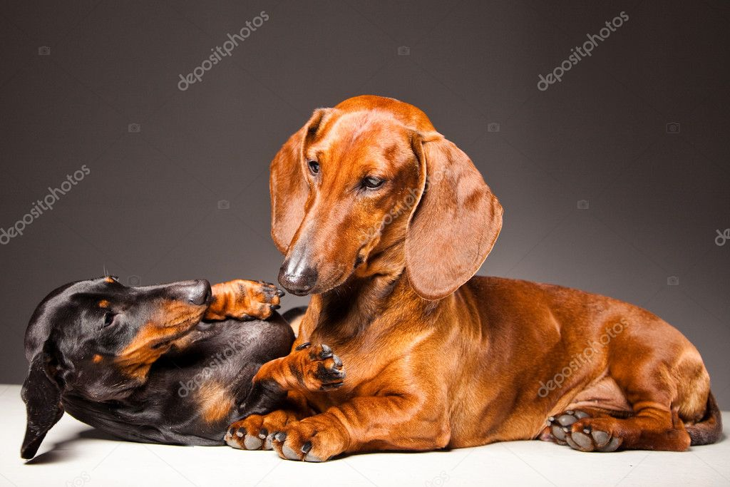 Red and black Dachshund Dogs playing on gray