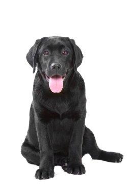 Studio shot of Black Labrador sitting on isolated white background stock vector