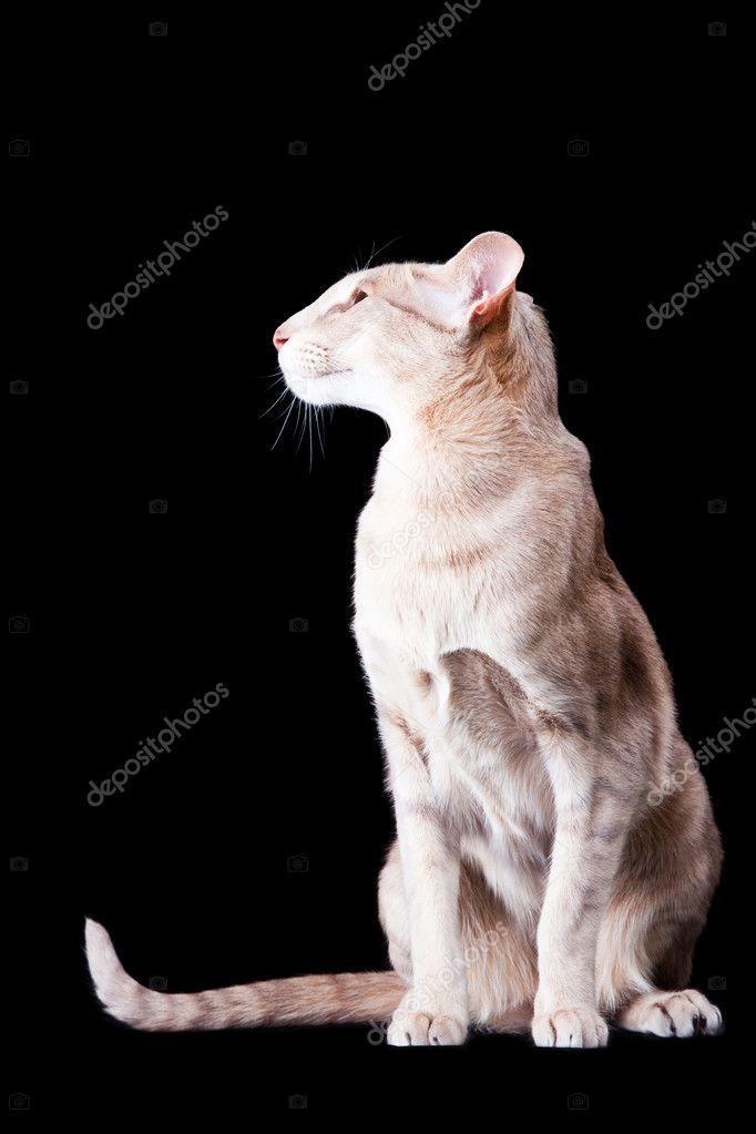 Orientalny Kot Siedzi Na Czarny Zdjęcie Stockowe Tanitue 9874516
