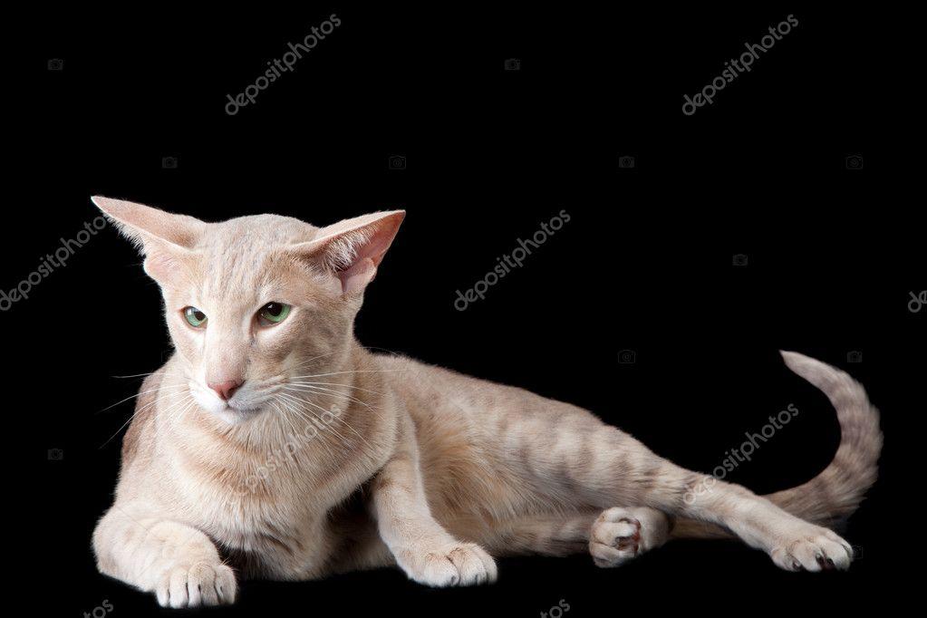 Orientalny Kot Leżący Na Czarny Zdjęcie Stockowe Tanitue 9874525