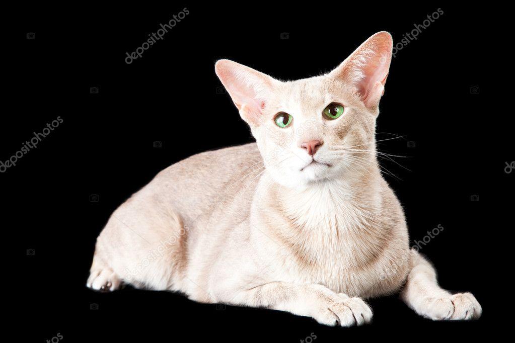 Orientalny Kot Leżący Na Czarny Zdjęcie Stockowe Tanitue 9874621