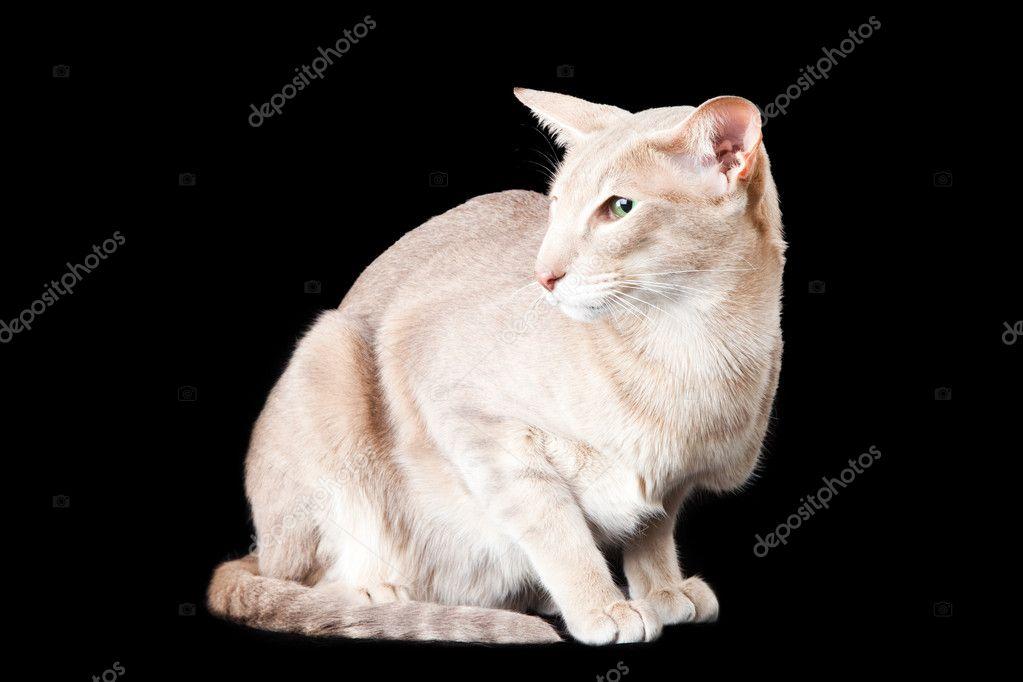 Orientalny Kot Siedzi Na Czarny Zdjęcie Stockowe Tanitue 9874632