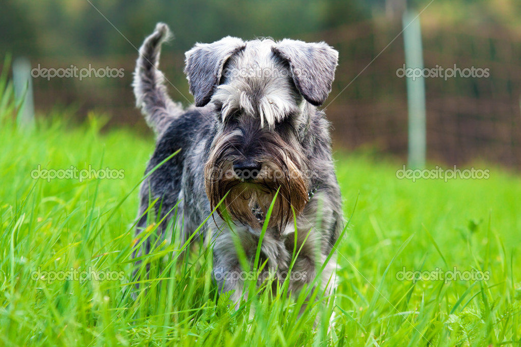 Schnauzer in the grass