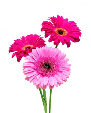 Three gerbera on a white background