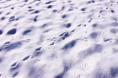 Traces of rabbits and foxes wild in the snow in winter