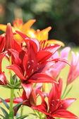 květina lilly