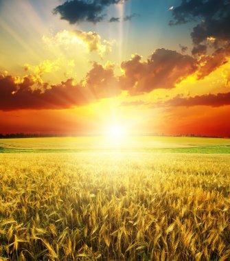 Good red sunset over golden field