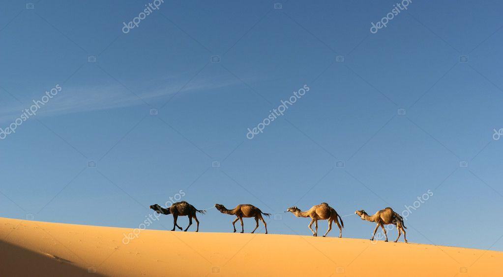 Camel caravan in Merzouga, Morocco