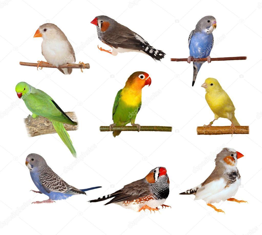 Set pets, Lovebirds, Yellow canary, Zebra Finch, Budgerigar