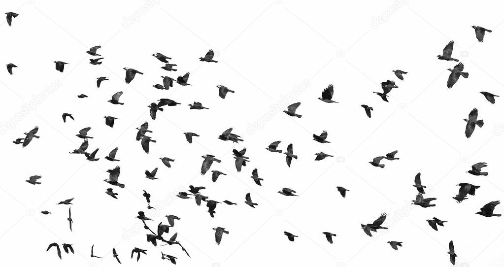 Flock of birds isolated on white background (Rook and Jackdaw)