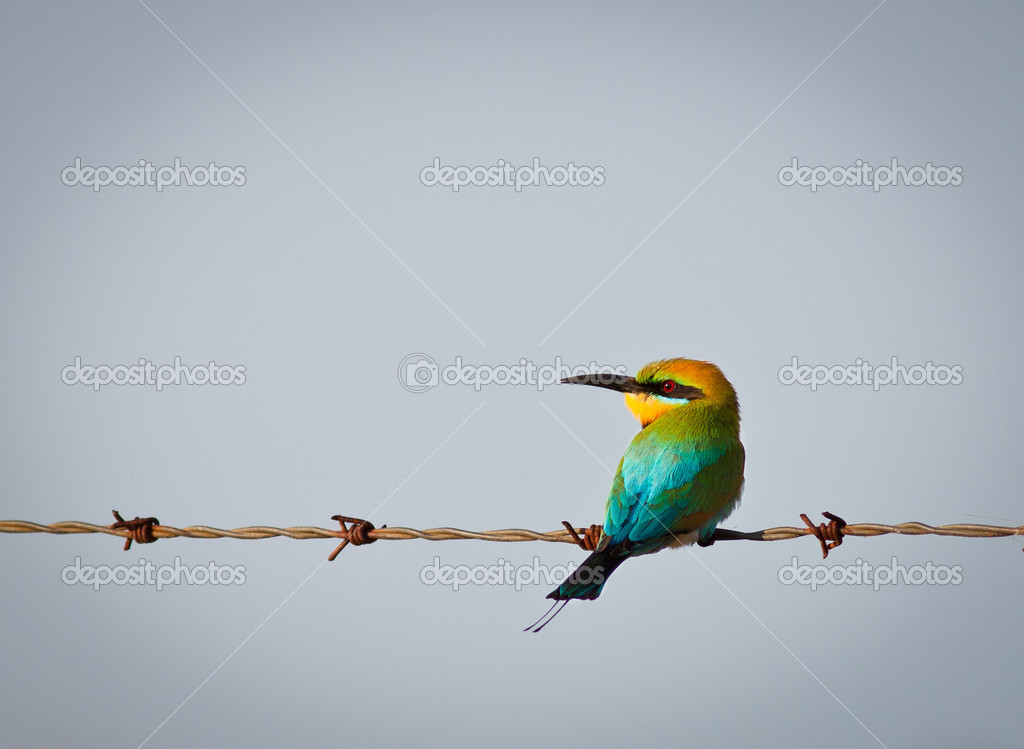 Rainbow bee-eater perched on wire — Stock Photo © Jaykayl #10385136