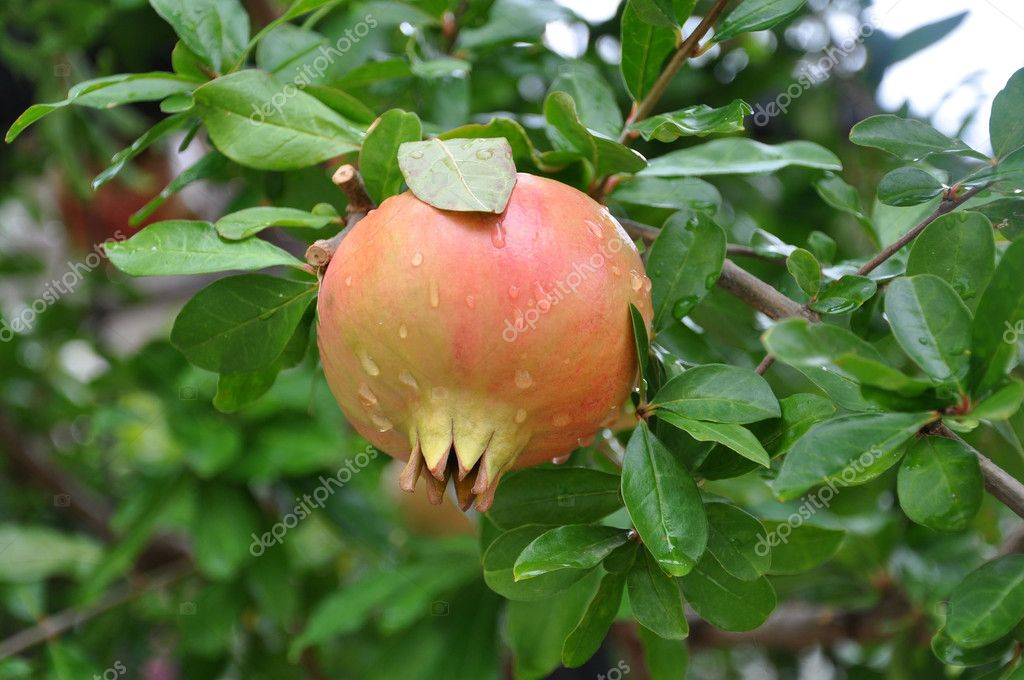 The pomegranate fruit.