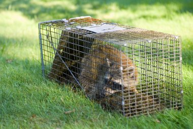 Raccoon Trapped in a Cage