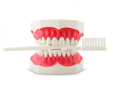 Teeth model with toothbrush on white