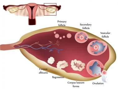 Ovary and ovulation process